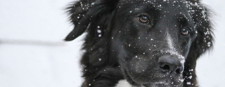 Jak chronić psa przed mrozem?