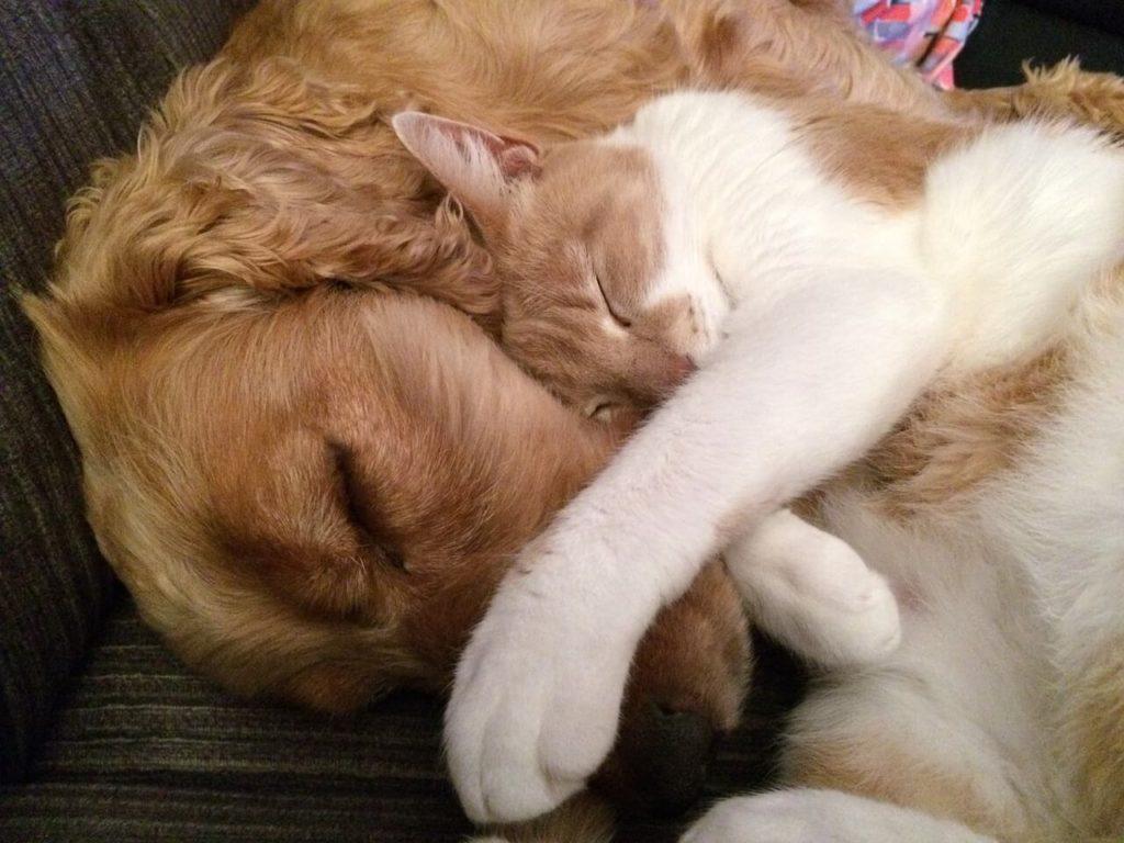 Kot przytulony do psa