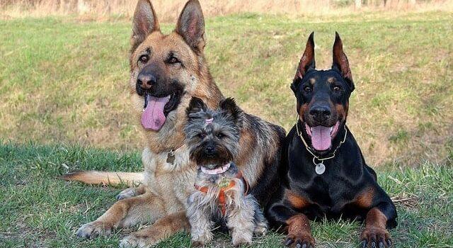 Owczarek niemiecki, york i rottweiler leżące na trawie