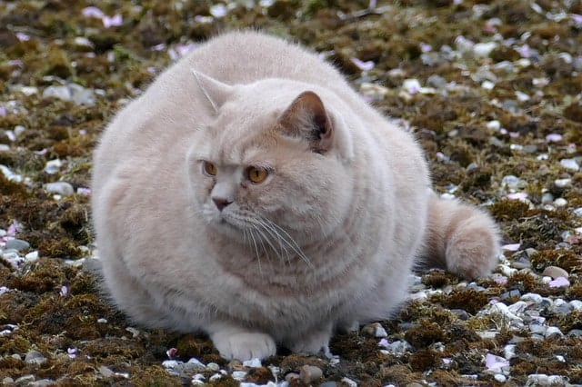 Otyły szary kot na dworze