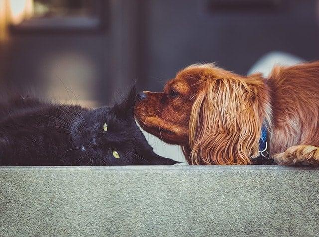 Spaniel wąchający czarnego kota