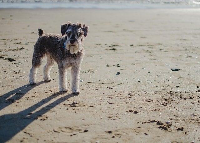 Sznaucer miniaturowy na plaży
