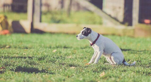 Pies z obrożą