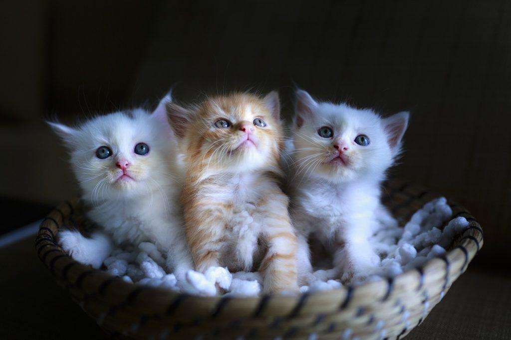 Trzy kocięta w legowisku