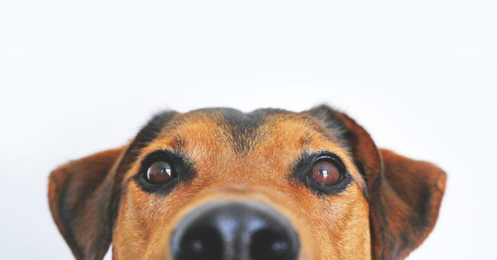 Głowa psa