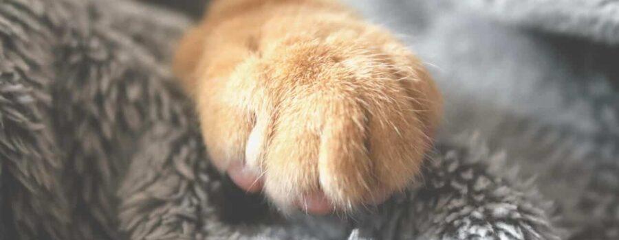 Łapa kota