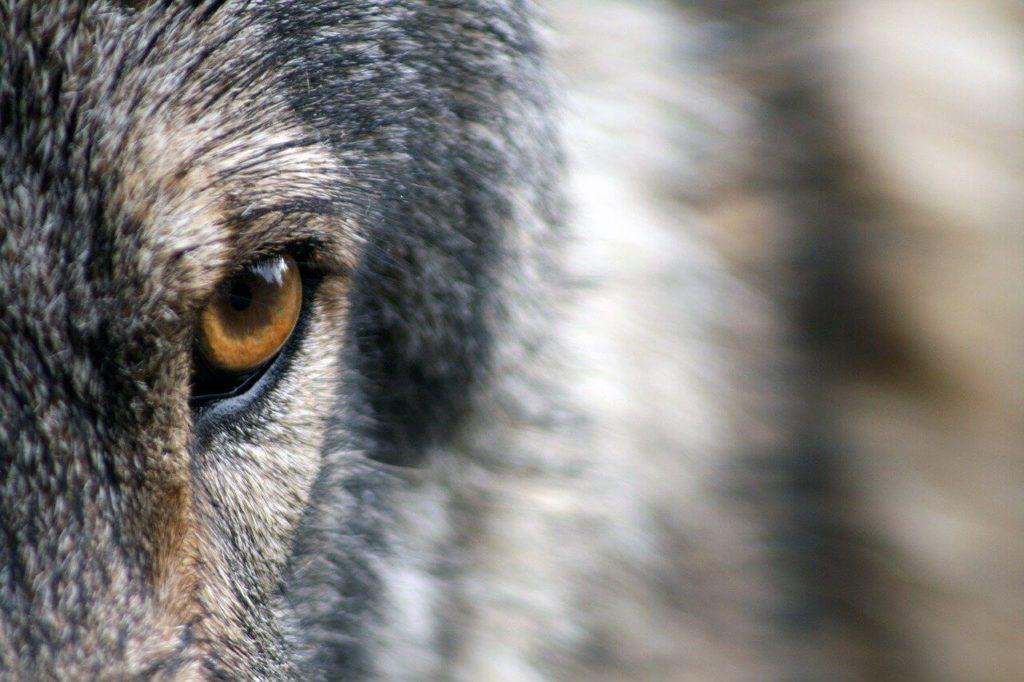 Oko wilka
