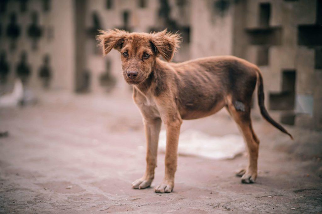Wychudzony pies