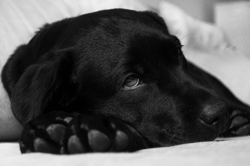 Leżący młody labrador