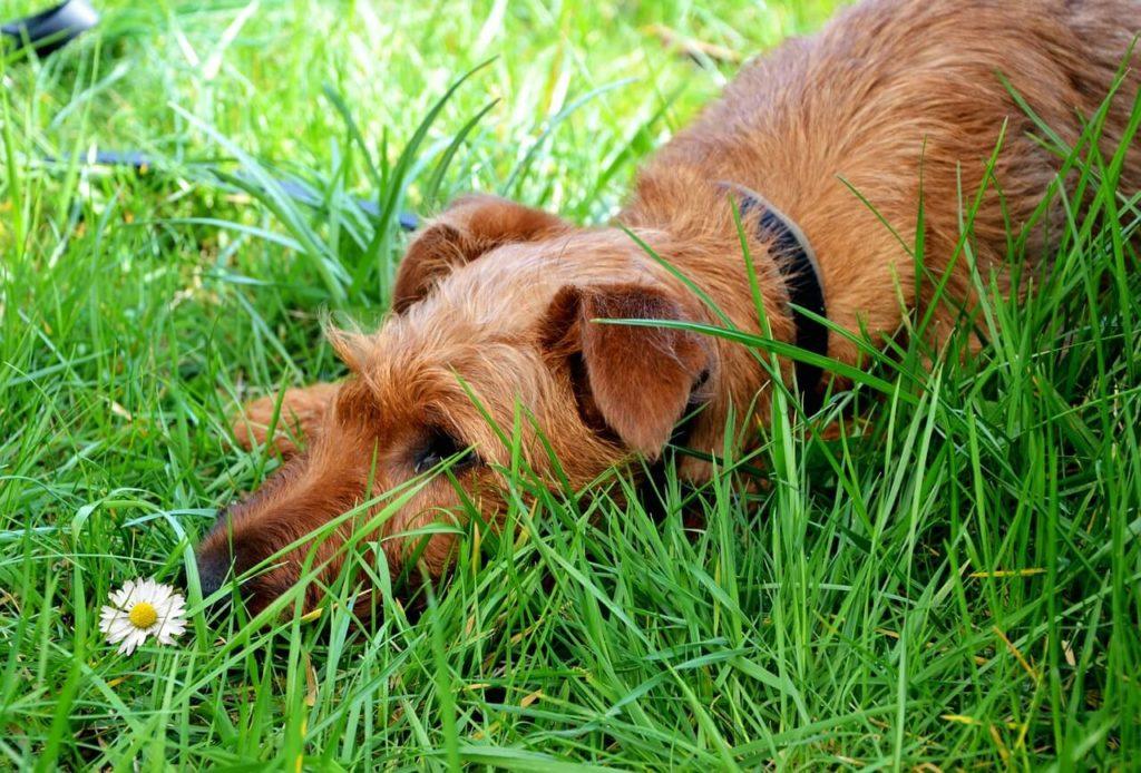 Zjadanie odchodów przez psa